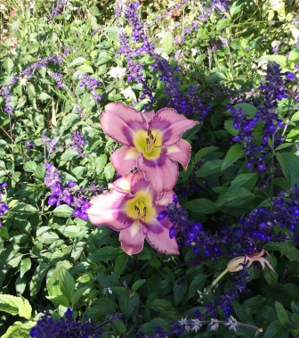 daylily_compressed